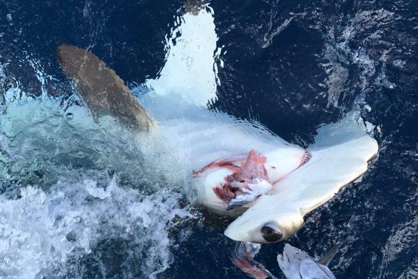 shark upside down kicking JT ass